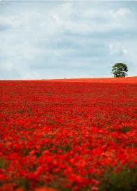 Poppy Field Design Inspiration.