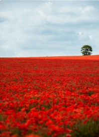 Poppy Field Design Inspiration.